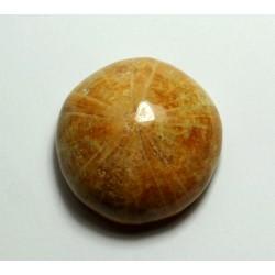 ježovka zkamenělina